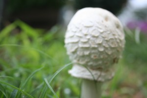 Golf Ball Mushroom ~ LifeOfJoy.me