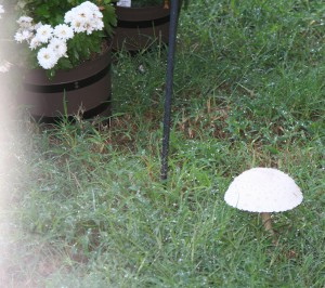 Opened Mushroom ~ LifeOfJoy.me