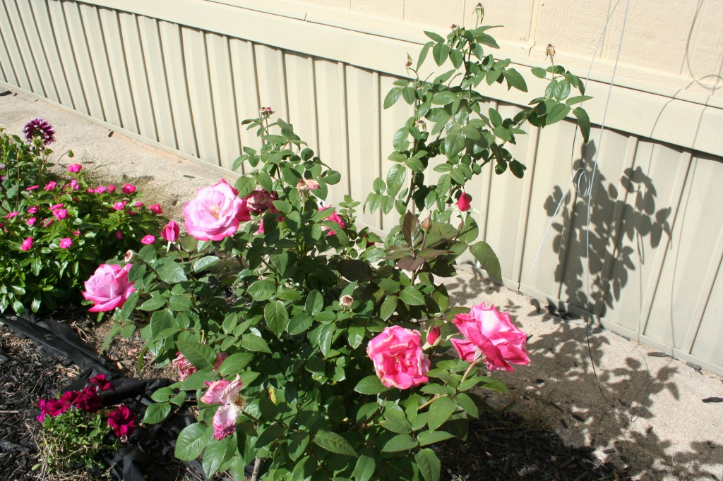 Rose Bush ~ LifeOfJoy.me