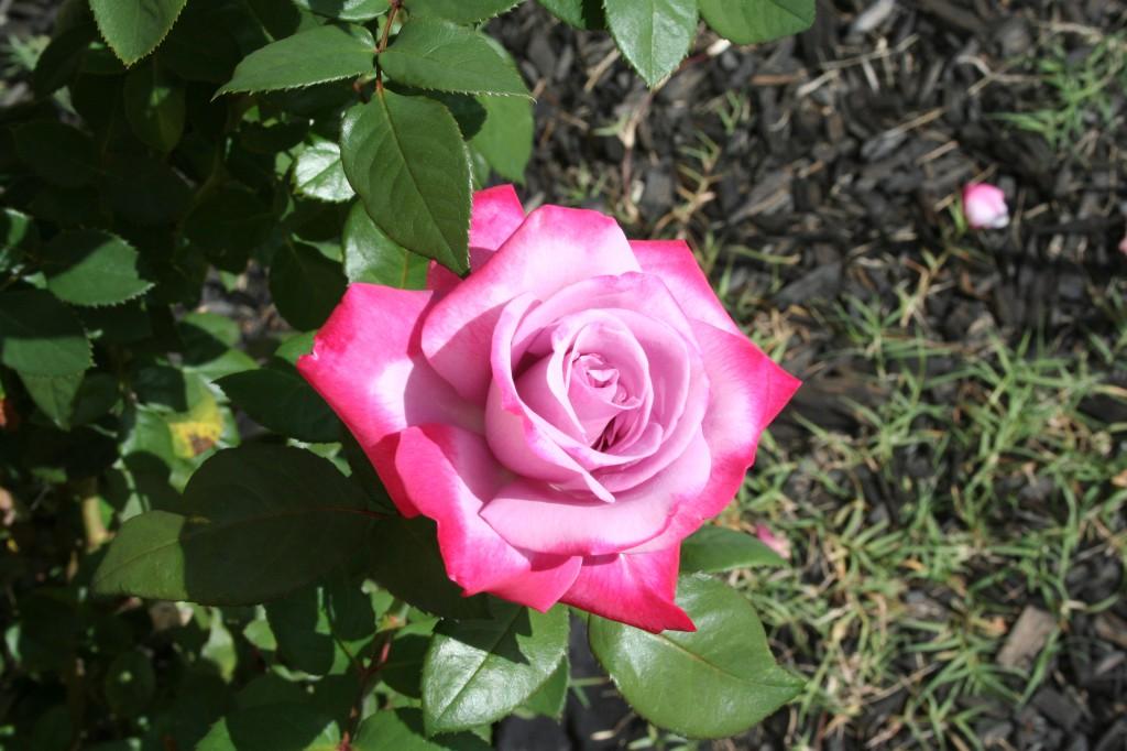 Open Rose ~ LifeOfJoy.me