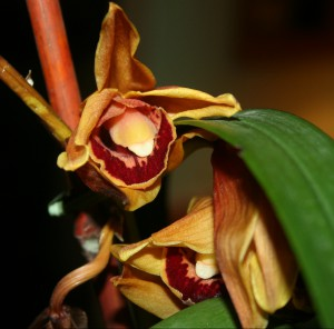 Orchid Blossom ~ LifeOfJoy.me