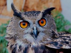 Owl Week ~ LifeOfJoy.me