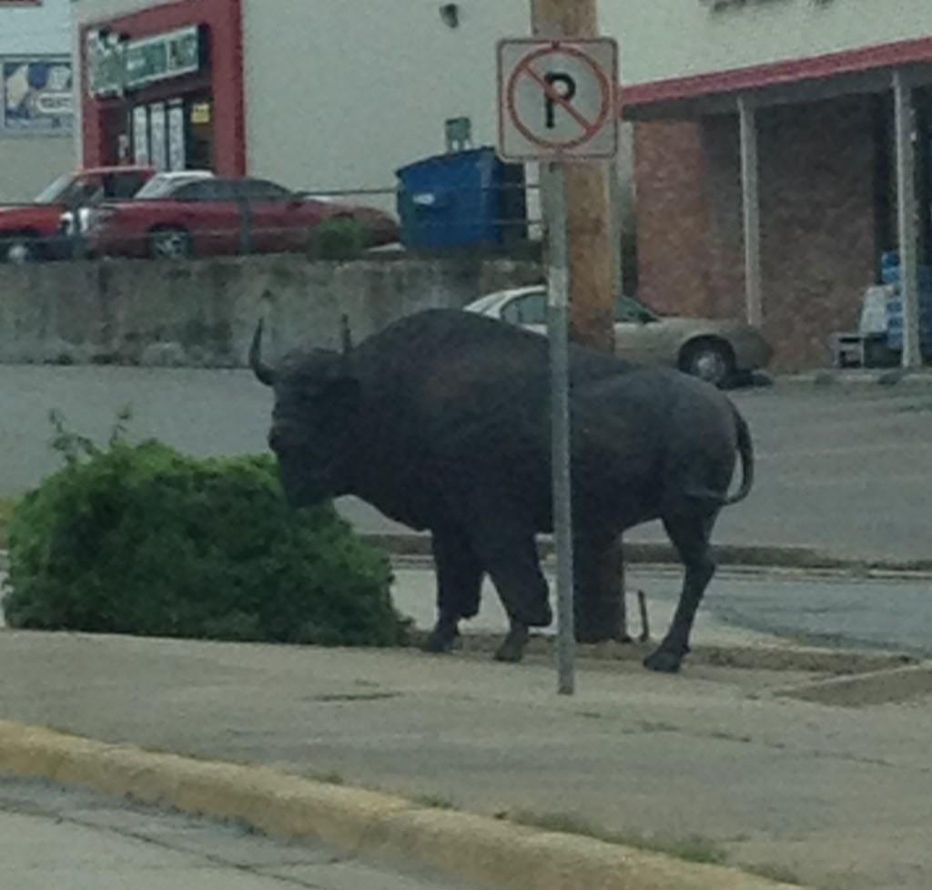 McAlester Buffalo ~ LifeofJoy.me