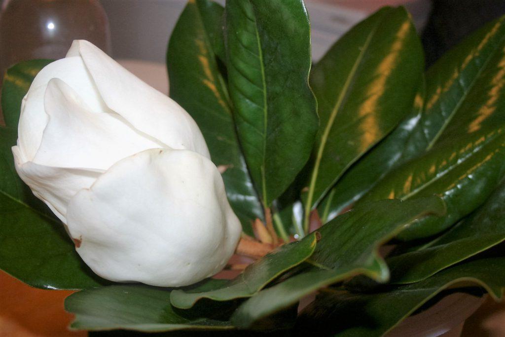 Sweet Magnolia Blossoms ~ Lifeofjoy.me
