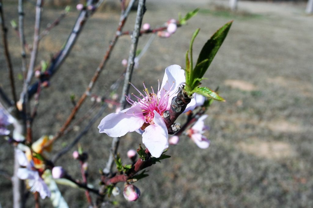 Peach Tree ~ Lifeofjoy.me