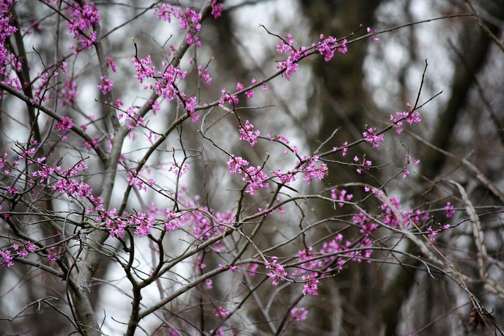 Wild Redbud Tree ~ Lifeofjoy.me