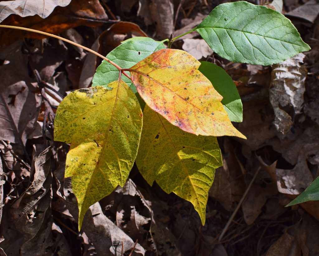 Poison Ivy Fall Colors ~ Lifeofjoy.me