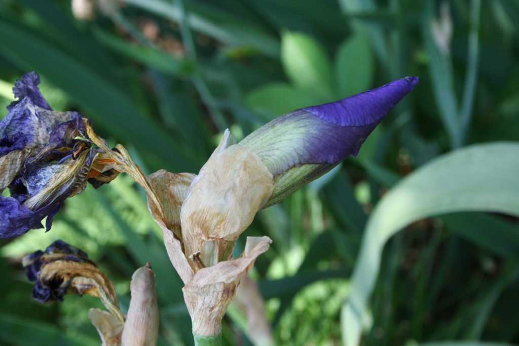 Purple Iris Bud ~ Lifeofjoy.me