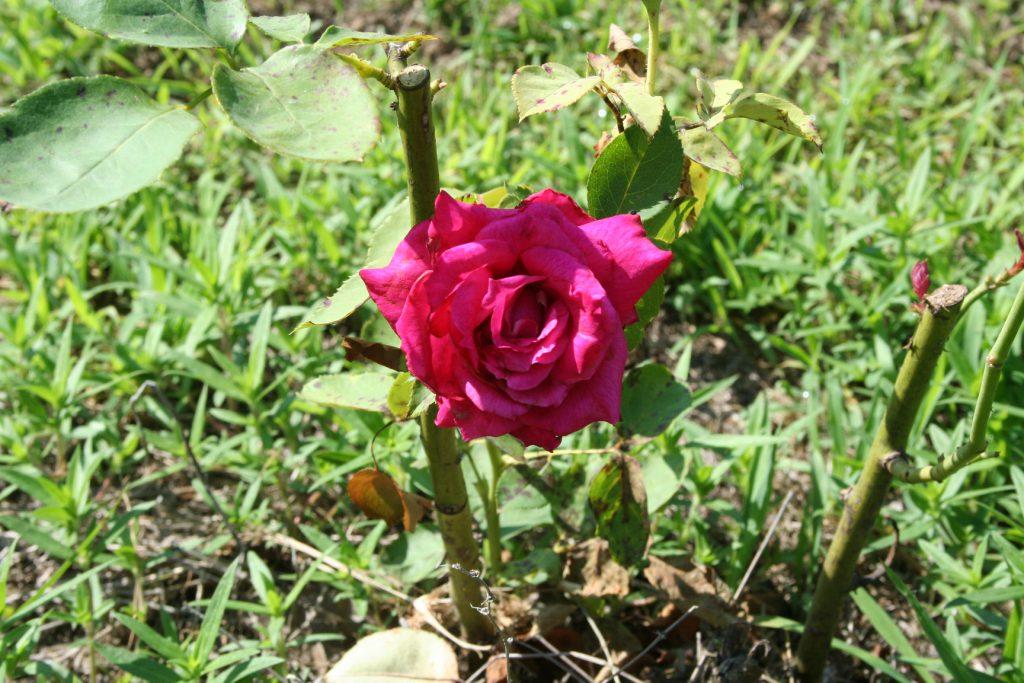 Rose ~ Lifeofjoy.me