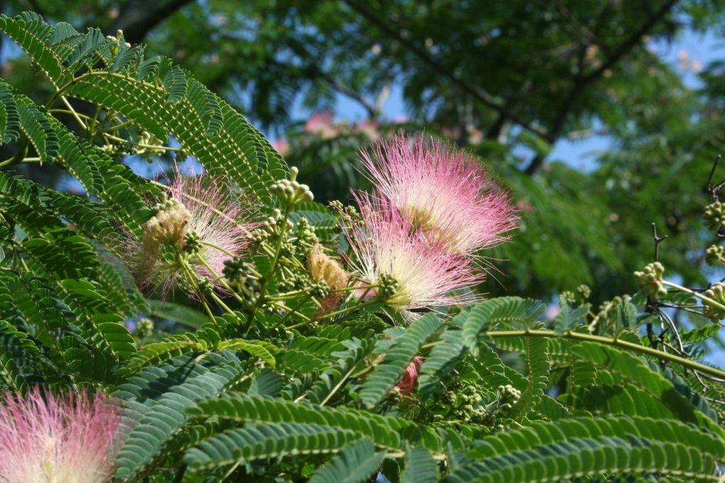 Mimosa Blossoms ~ Lifeofjoy.me