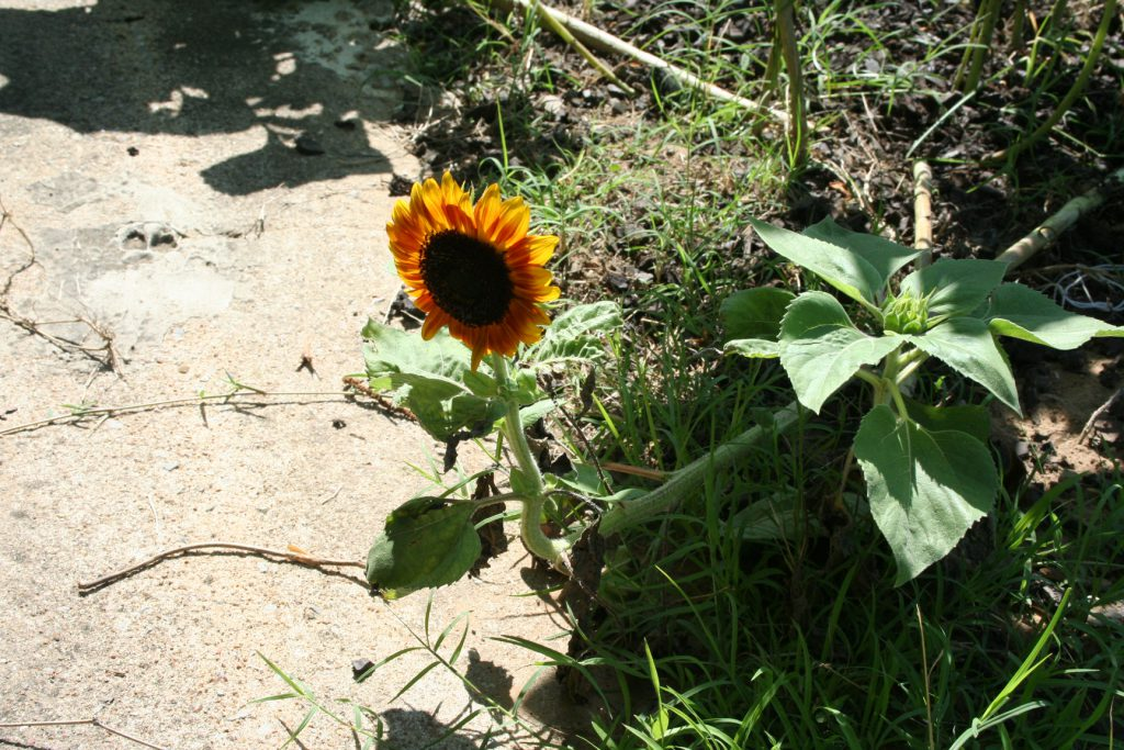 Odd but Pretty Sunflower ~ Lifeofjoy.me