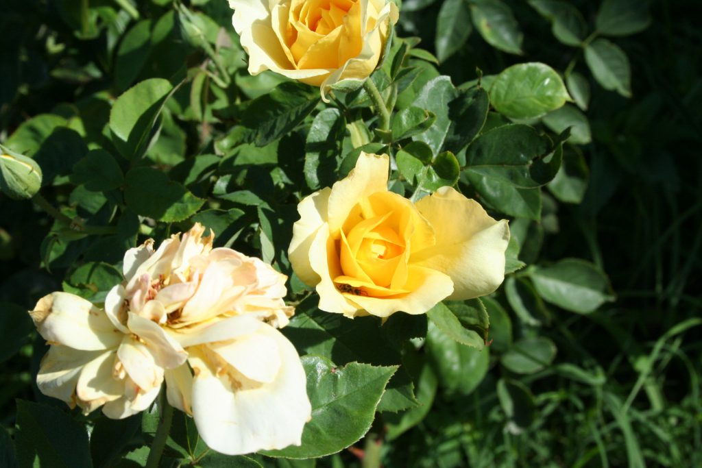 Yellow Roses ~ Lifeofjoy.me