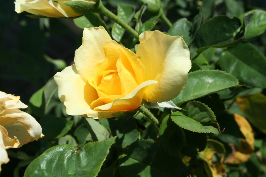 Yellow Rose ~ Lifeofjoy.me
