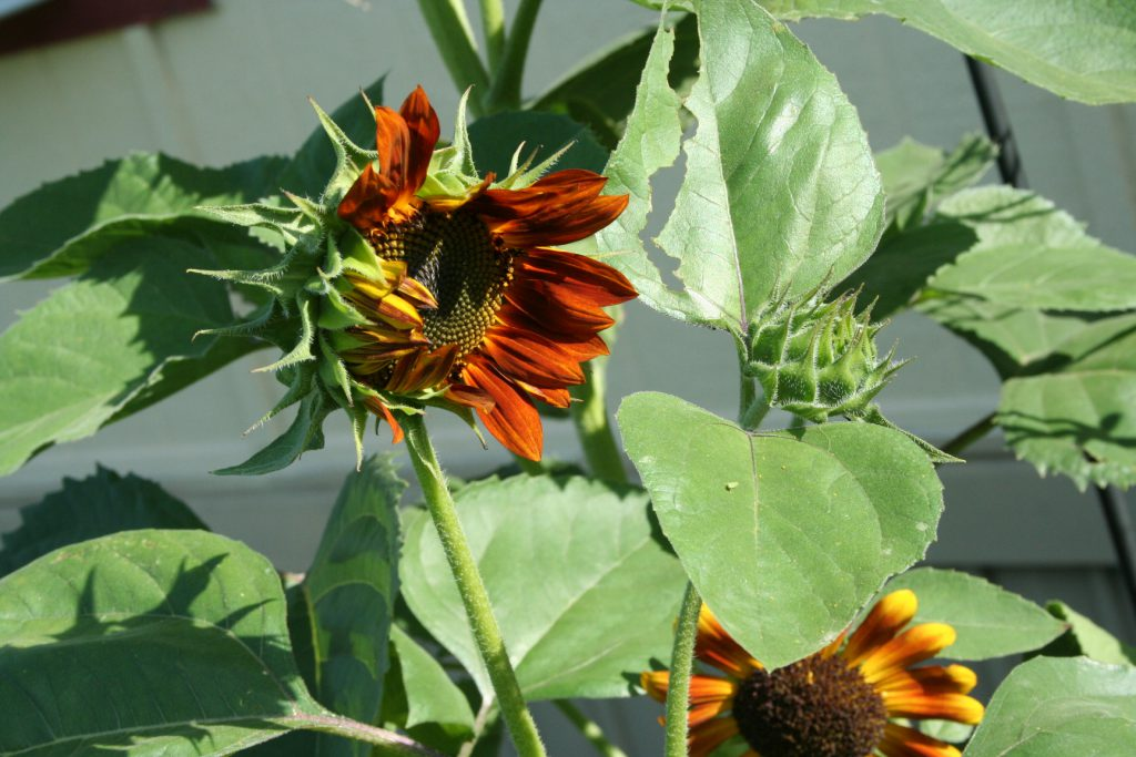Unfurling sunflower and bud ~ Lifeofjoy.me