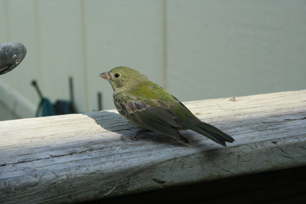 Bird on railing ~ Lifeofjoy.me