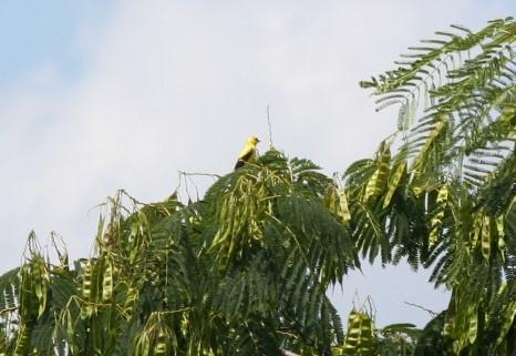 Mimosa tree and Yellow bird ~ Lifeofjoy.me
