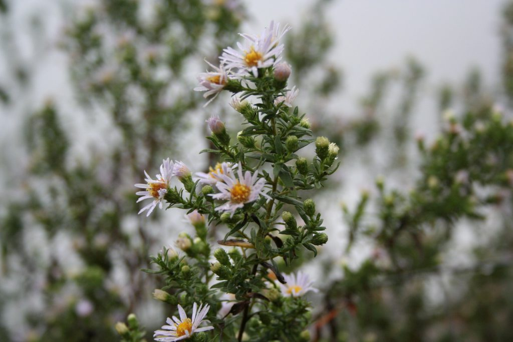 asters? buds and blooms ~ Lifeofjoy.me
