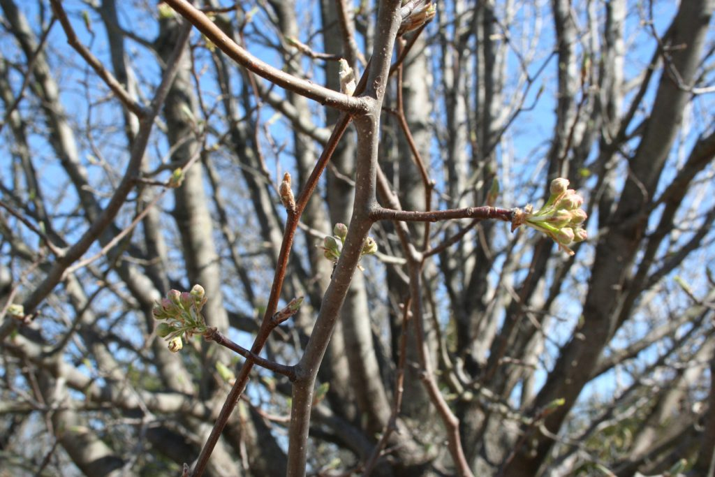 Buds on Bradford Pear Tree ~ Lifeofjoy.me