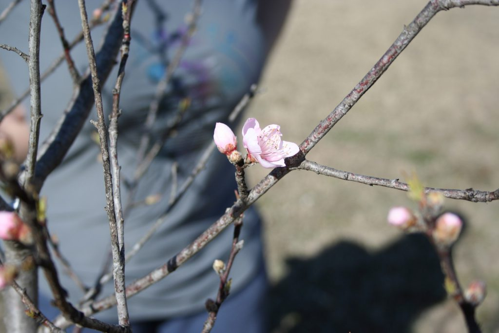 Budding little Peach tree ~ Lifeofjoy.me
