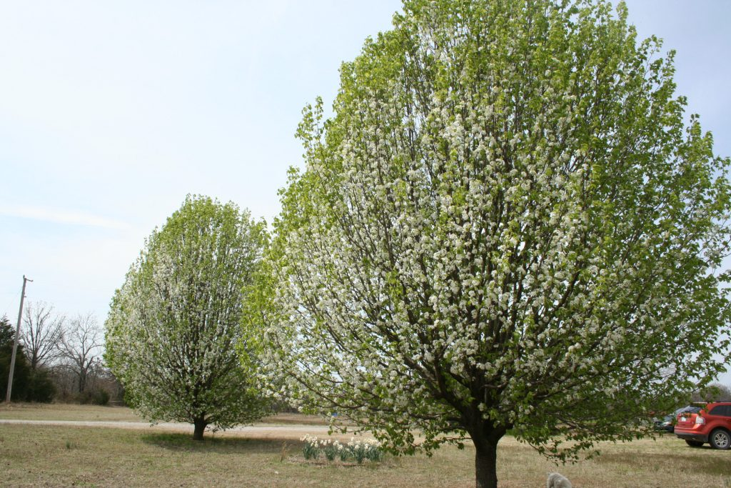 Bradford Pear Trees full bloom ~ Lifeofjoy.me