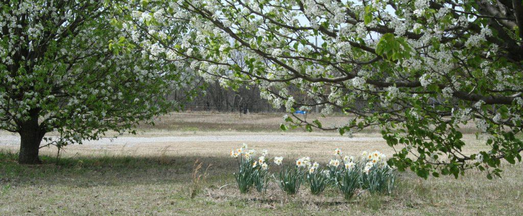 Daffodils in full bloom ~ Lifeofjoy.me