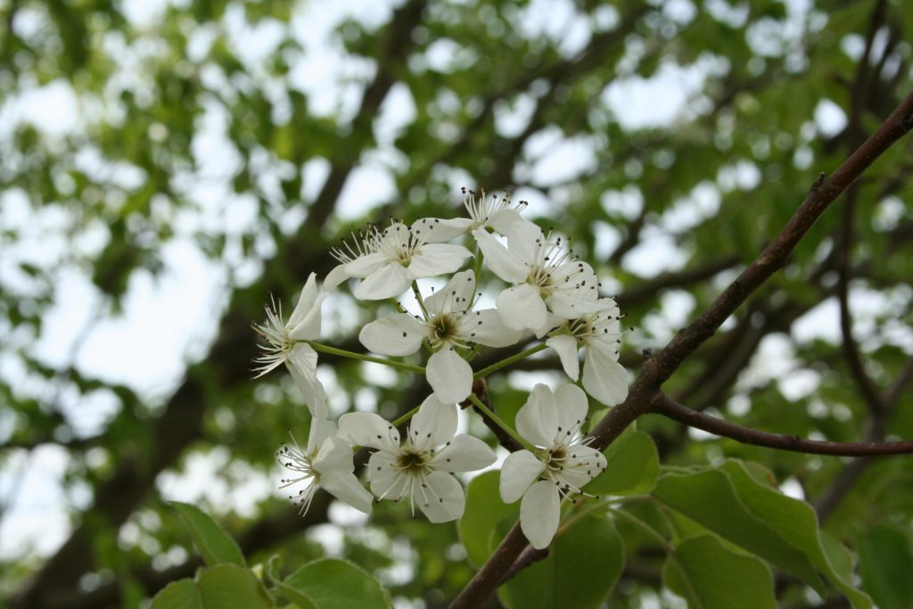 Bradford Pear tree flowers ~ lifeofjoy.me