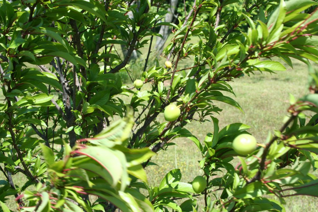 Shows plums growing on new tree.