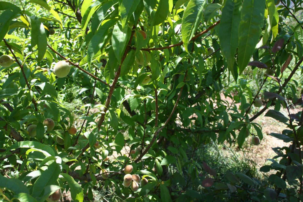Shows some of the lovely peaches on the tree that got planted by accident.