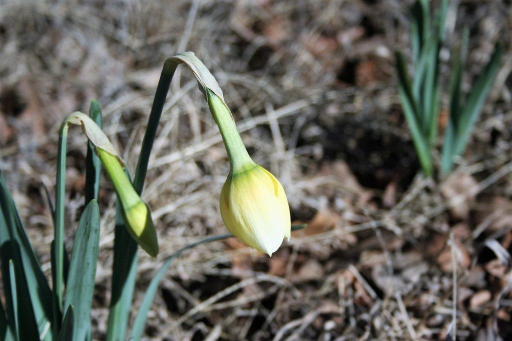 Narcissus ~ Lifeofjoy.me