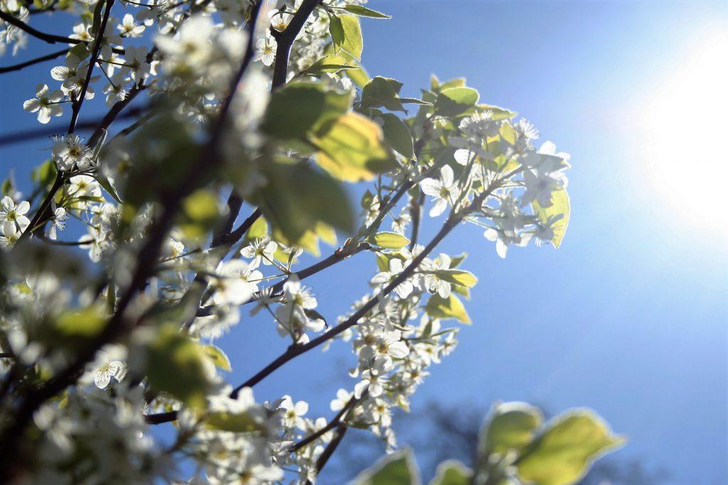 Bradford Pear Tree Blossoms ~ Lifeofjoy.me