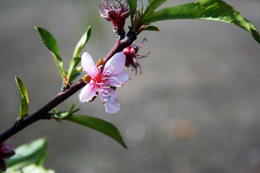 Peach Tree, Flowers, and Liam ~ Lifeofjoy.me