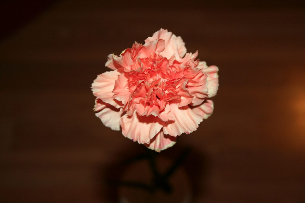 Mother's Day Carnation ~ Lifeofjoy.me