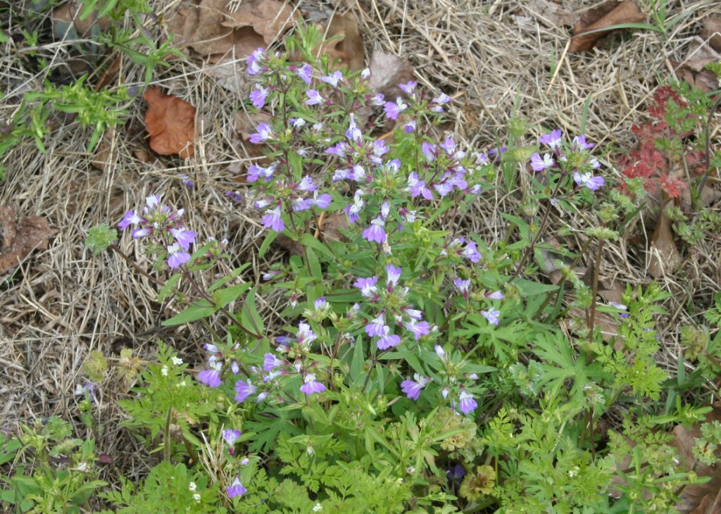 Little Purple Wild Flowers ~ Lifeofjoy.me