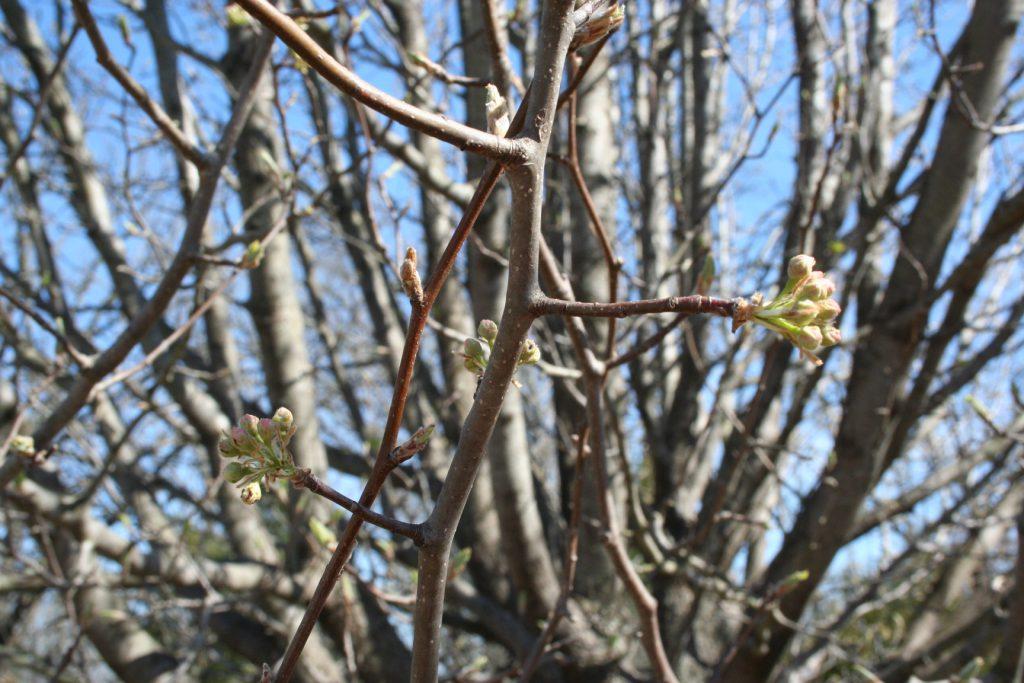 Buds on Bradford Pear Tree ~ Lifeofjoy.me