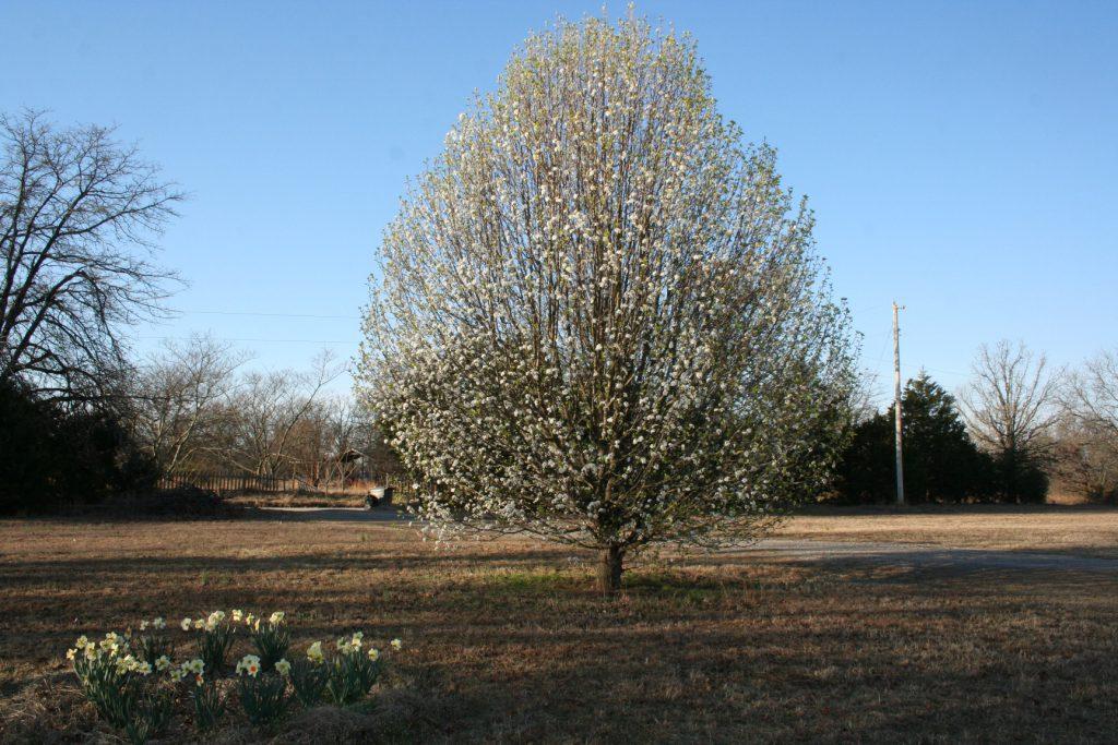 Full view of Bradford Pear Tree ~ Lifeofjoy.me